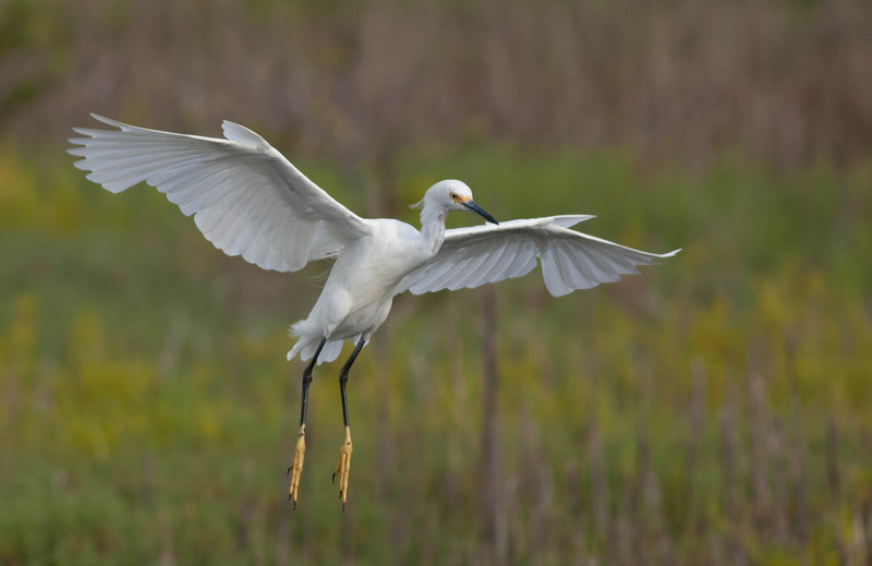 Identifying White Egrets And Herons