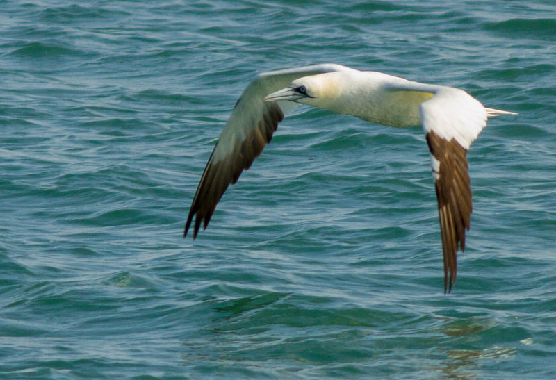 Northern Gannet at Jetty Park, 2/17/2013