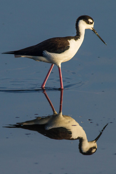 Black-necked Stilt Walking
