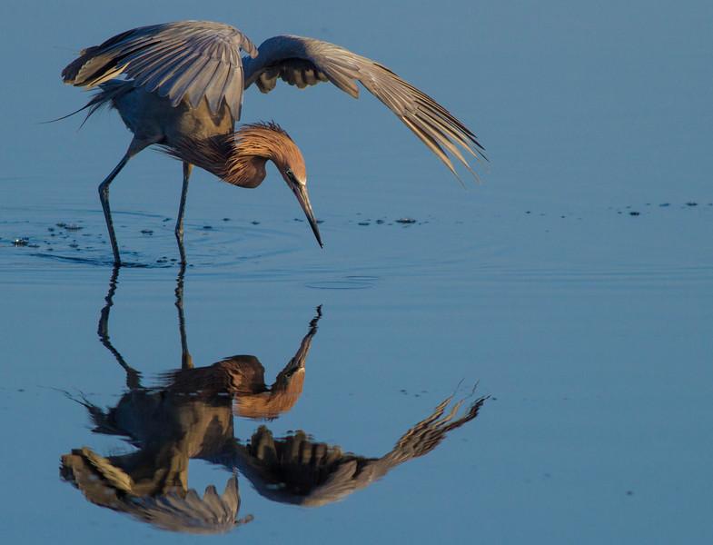 Reddish Egret Feeding