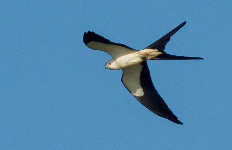Swallow-tailed Kite at Central Winds Park