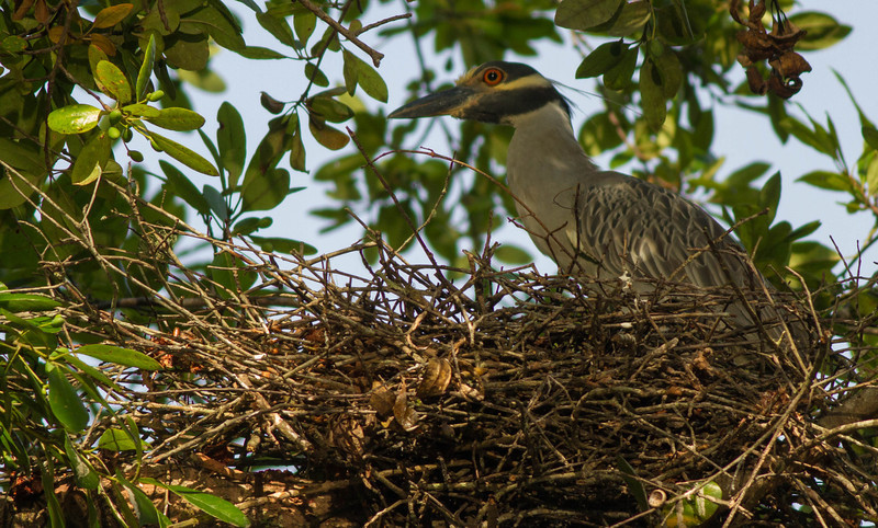 Yellow-crowned Night Heron on Wekiva River