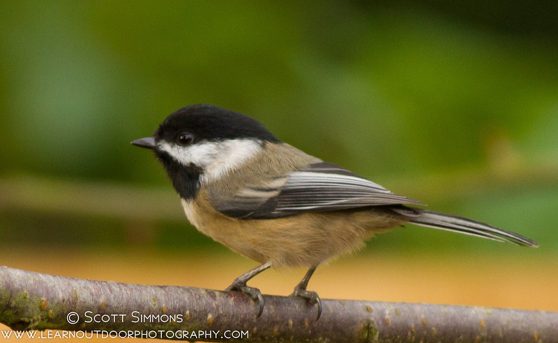 Chickadee Irruption in Central Florida!