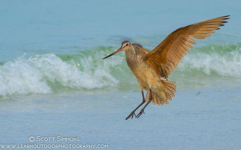 Reddish Egret at Fort De Soto